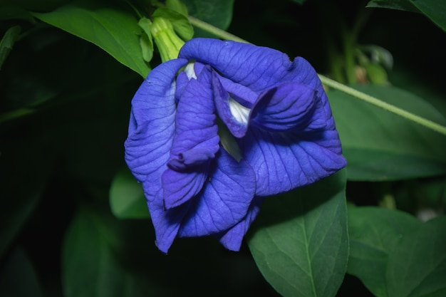 Butterfly pea flower, this flower can be used to make thai desserts with blue and purple color.