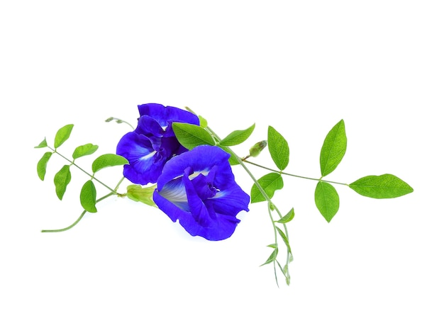 Butterfly pea flower on white