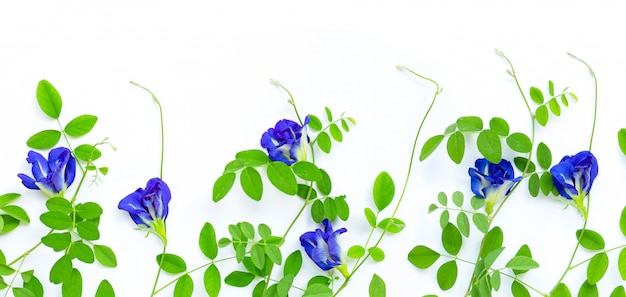 Butterfly pea flower with leaves on white background.
