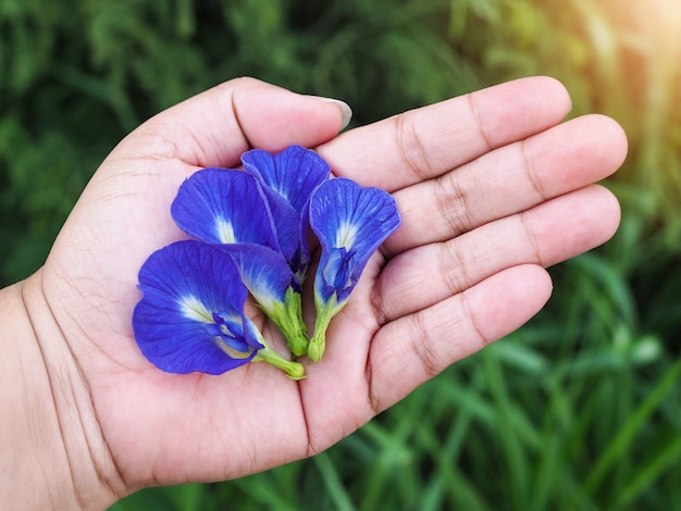 Butterfly pea flowers bright botanical flower medicinal and herbal.