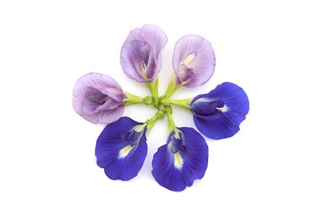 白いbackground.topビュー、フラットレイに分離された蝶エンドウ豆の花。
