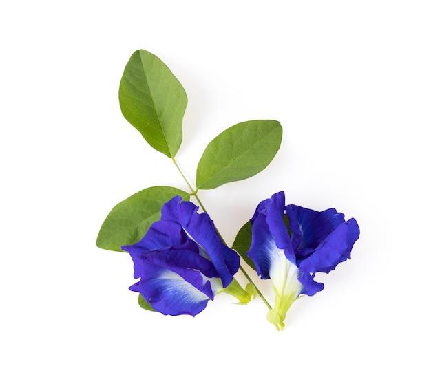 白い背景の上面図に分離された蝶エンドウ豆の花