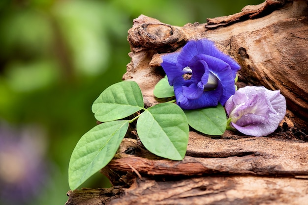Butterfly pea flowers on an old wood .