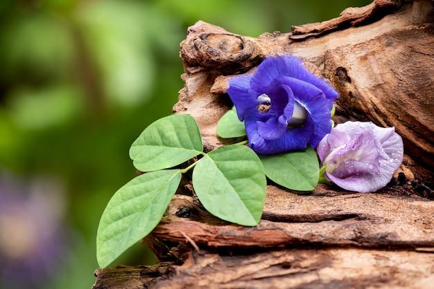 古い木の上の蝶エンドウ豆の花。