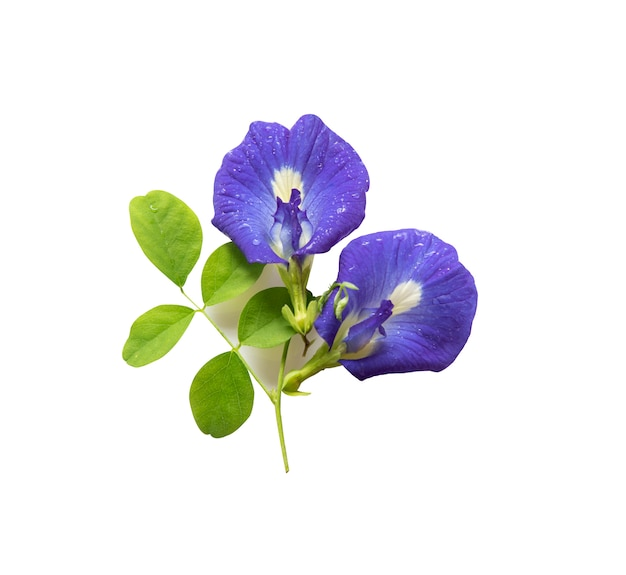 Butterfly pea flowers