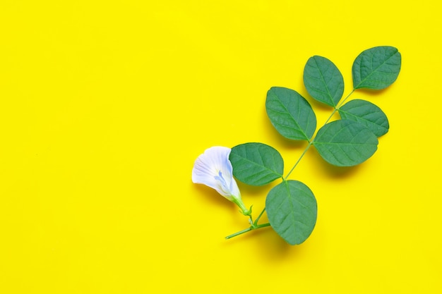 蝶エンドウ豆、黄色の背景の葉と白の青い花。