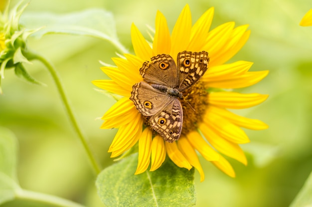 Butterfly perched on sunflower