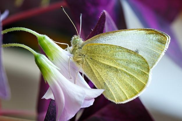 Бабочка опыляет цветок. pieridae