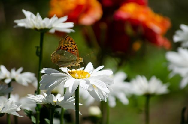 Бабочка сидит на цветке ромашки. мягкий фокус.