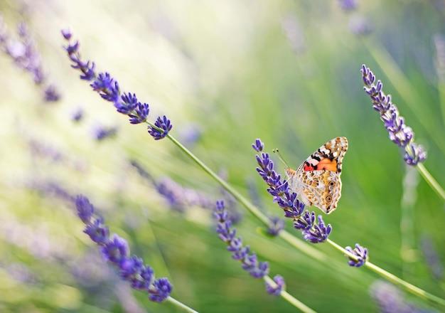 Бабочка сидит на цветке лаванды