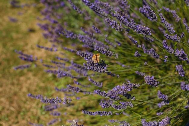 Бабочка сидит на фиолетовых цветках лаванды, цветущих в саду