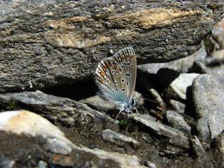 Farfalla, snob