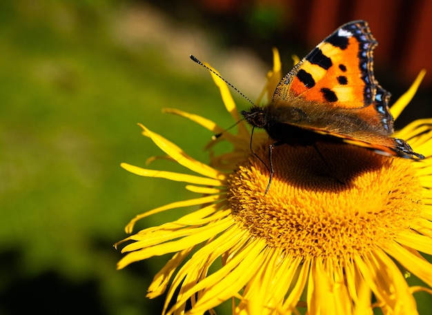 A butterfly on a sunflower