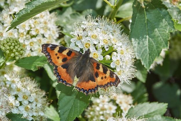 Крапивница бабочки (лат. aglais urticae) на соцветии спиреи.