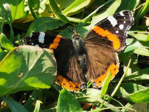 バタフライヴァネッサアタランタは、タテハチョウ科の鱗翅目二門亜目の一種です。