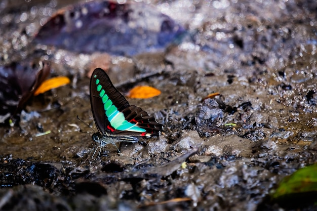 The butterfly on the wet ground