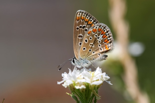 Butterfly on white flower. polyommatus icarus