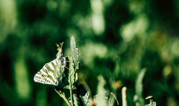The butterfly with green and white wings is well camouflaged in the green leaf