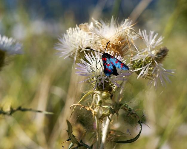 赤い斑点を持つ蝶、zygaena lonicerae
