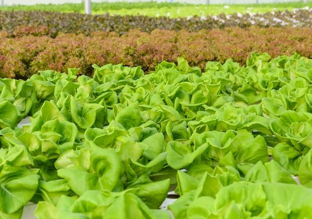 Butterhead lettuce hydroponic vegetables plantation
