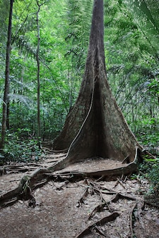Buttress root tree