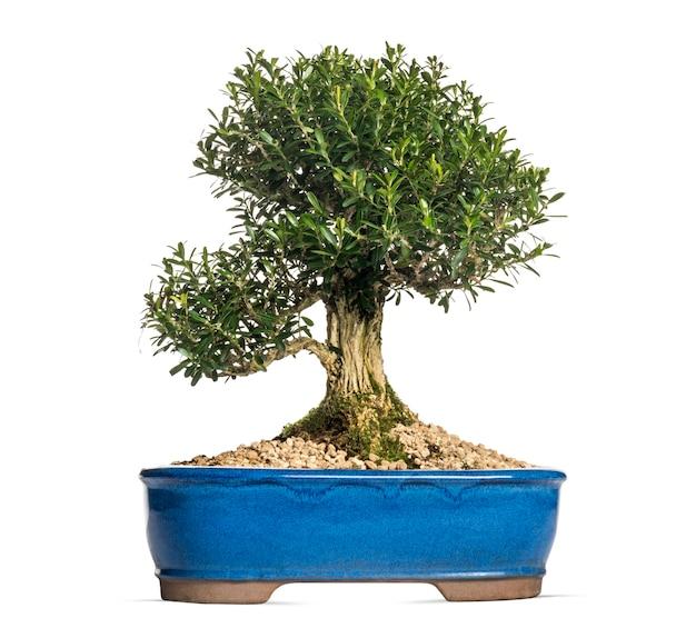 Buxus bonsai 나무, 흰색 절연