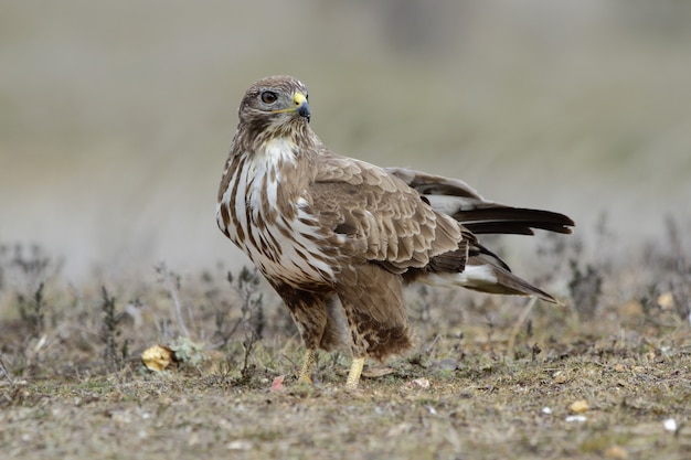 A buzzard bird perched on the ground in the field