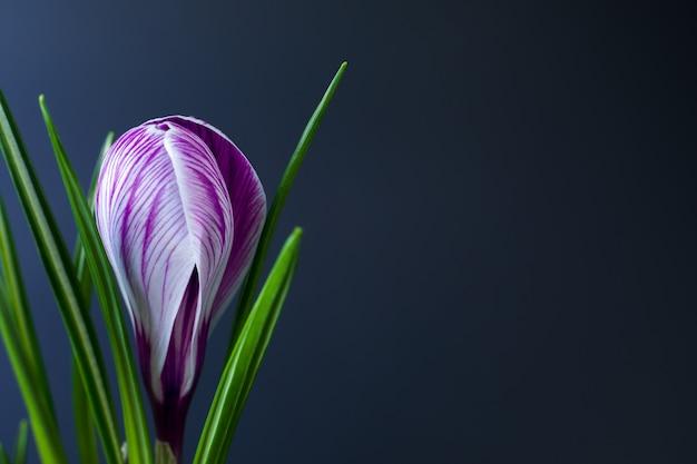 黒の背景に紫の縞と大きなクロッカスクロッカスサティバスc.ヴェルヌスの花。はがき、誕生日、母の日、バレンタインの日のための挨拶。閉じる