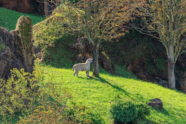 Cabarceno 자연 공원 스페인 cabarceno 자연 공원 스페인의 화이트 타이거