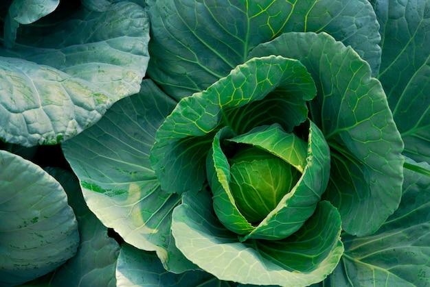 菜園のキャベツ(アブラナ科)。緑豊かな緑の野菜。有機キャベツ野菜農場。植物栽培。農業。