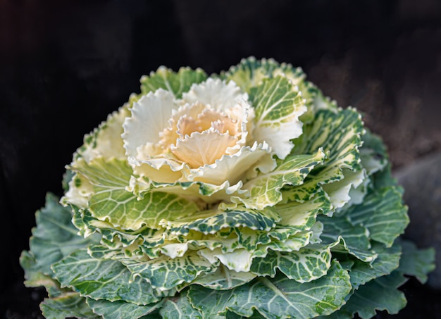 Cabbage or cauliflower close-up with open leaves