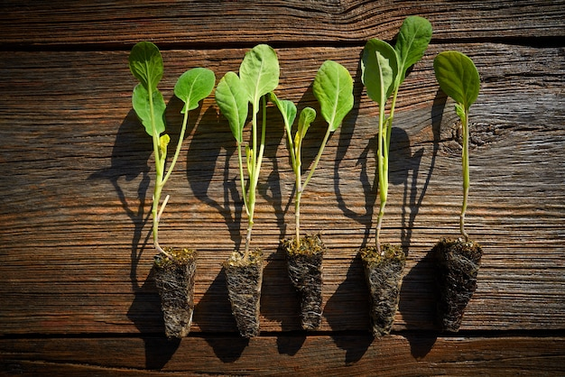 Cabbage cauliflower seedlings sprouts