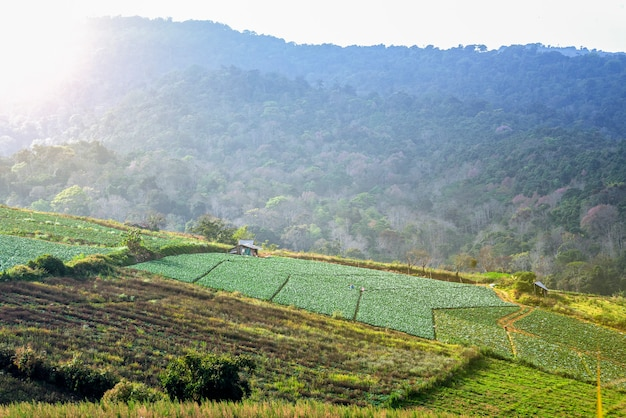 Cabbage farm in mountain valley morning sunlight