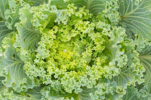 Cabbage flower, amazing natural fractal plant.