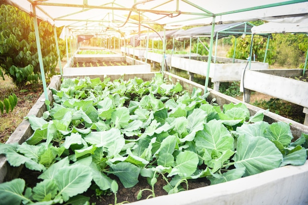Cabbage in the garden farm vegetable green house /