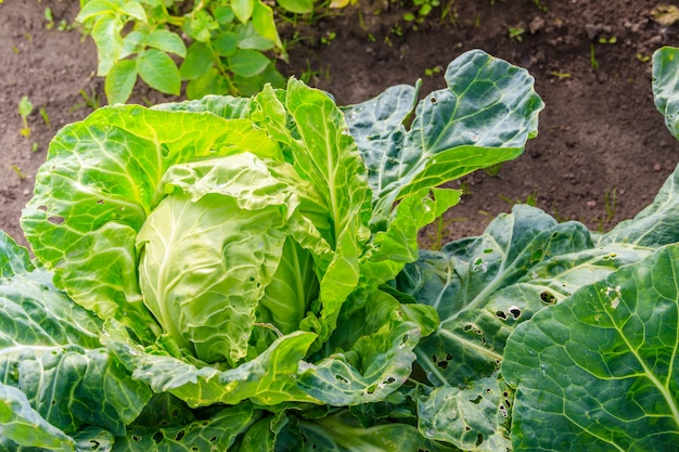 Cabbage in the garden . vegetables in the garden. home harvest. non-gmo vegetables.