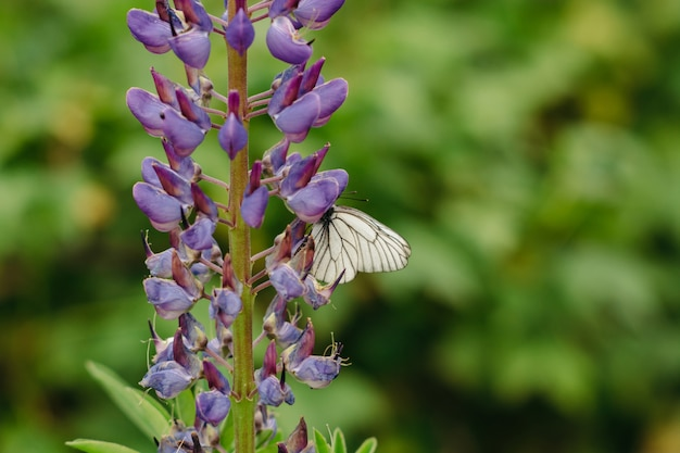 The cabbage gathers nectar from lupine lilac.