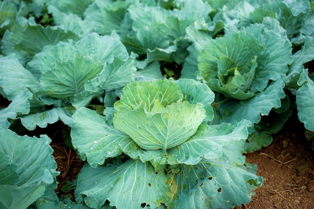 Cabbage on ground in a field planted on the farm.