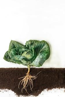 Капуста растет в земле, поперечном сечении почвы, вырезанном коллаже. растущее растение с изолированными листьями и корневой системой. концепция сельского хозяйства, ботаники и сельского хозяйства
