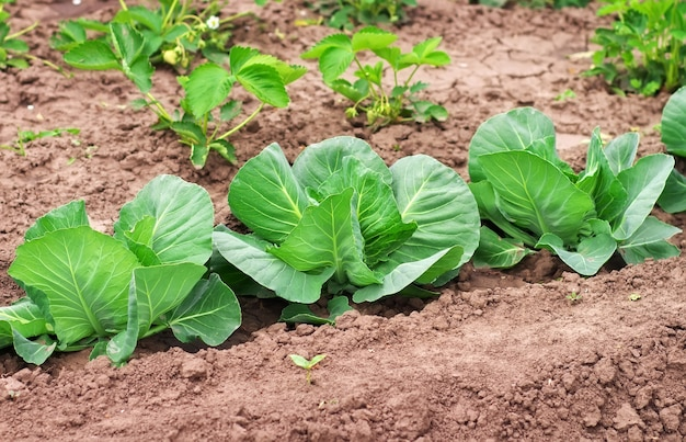 정원에서 자라는 양배추. 토양에 신선한 양배추