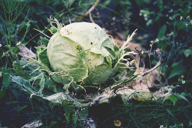 Капуста растет в саду