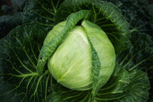 Cabbage grows on the kitchen garden