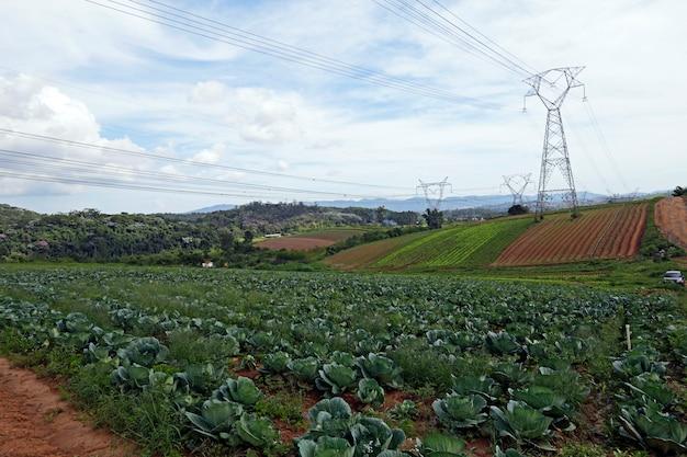 Cabbage plantation in familiar farm