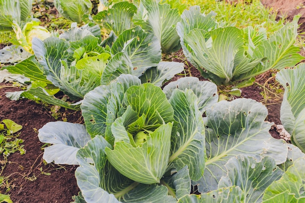 Cabbage plantation in the garden, on a sunny day.