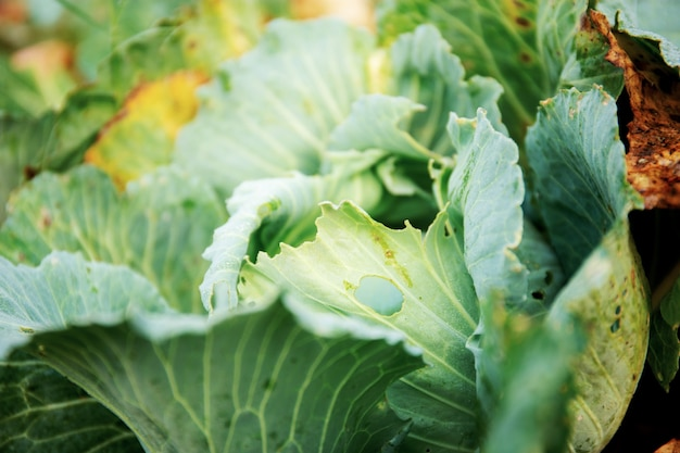 Cabbage on plantation with green background.