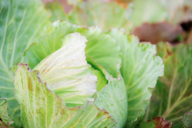 Cabbage on plantation.