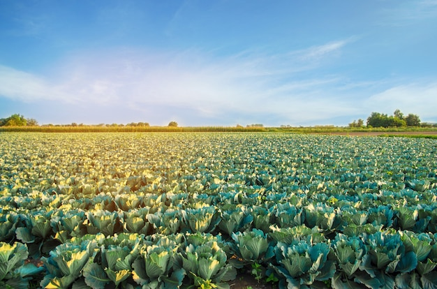 Cabbage plantations grow in the field. fresh, organic vegetables. landscape agriculture.