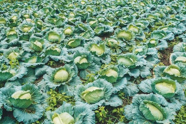 양배추 농장은 들판에서 자랍니다. 야채 줄. 농업, 농업. 농경지가 있는 풍경. 작물.