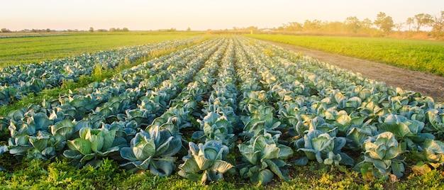 석양 빛에 양배추 농장입니다. 유기농 야채 재배. 친환경 제품