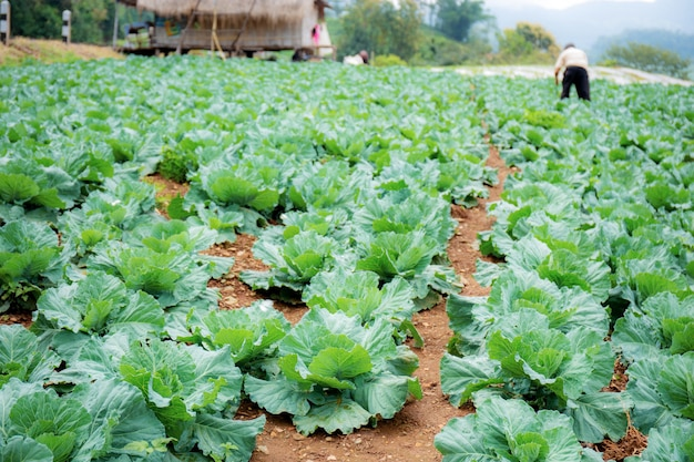 Cabbage on plots with farmers in fields.